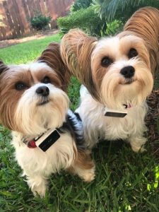 Picture of two yorkies who are friends
